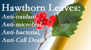 Dr. Hoang's Chiropractic Clinic shares new research regarding the flavonoids of the hawthorn tree leaves' extract that are antioxidant, antibacterial, antimicrobial and anti-cell death.